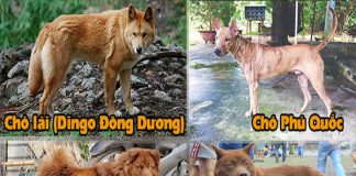 avata-cac-giong-cho-quoc-khuyen-Viet-Nam